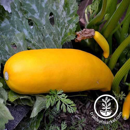 A close up of Cucurbita pepo 'Golden Zucchini' growing in the garden. To the bottom right of the frame is a white circular logo with text.