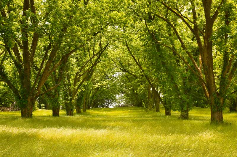 Green grass growing under a shady grove of pecan trees.