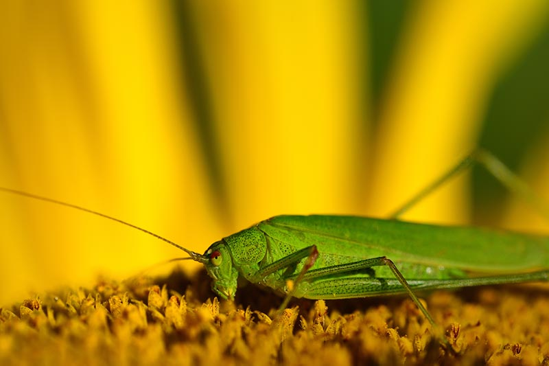 A close up of a green grasshopper in the center of a Helianthus annuus flower, on a yellow soft focus background.