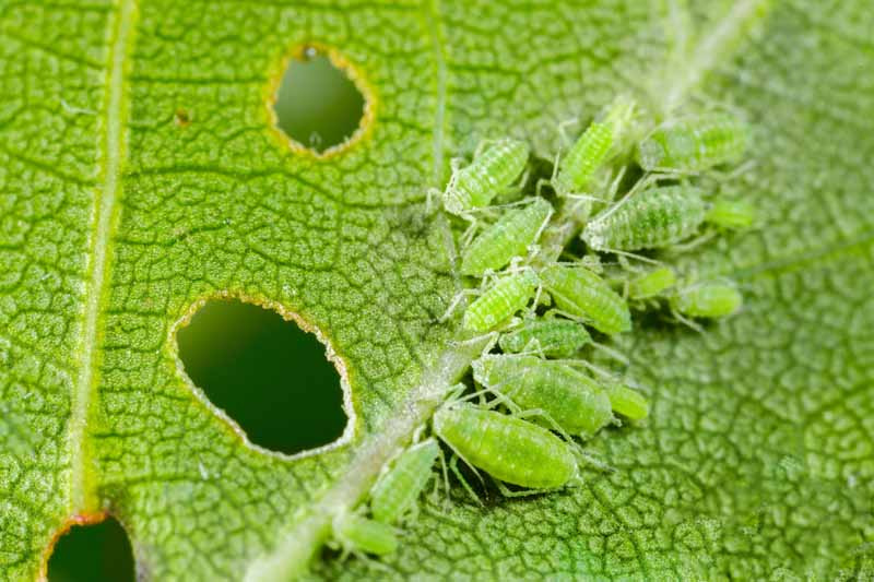 A close up of a cluster of green aphids feeding on a green leaf.