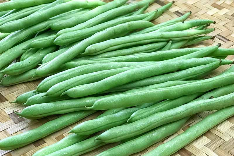 A close up of green bush beans washed but not trimmed, set on a wicker surface.