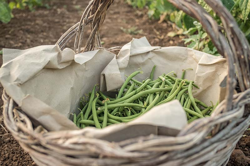 A close up of a wicker basket set in the garden with a freshly picked green bush beans and brown paper lining. The background is a garden scene in soft focus.