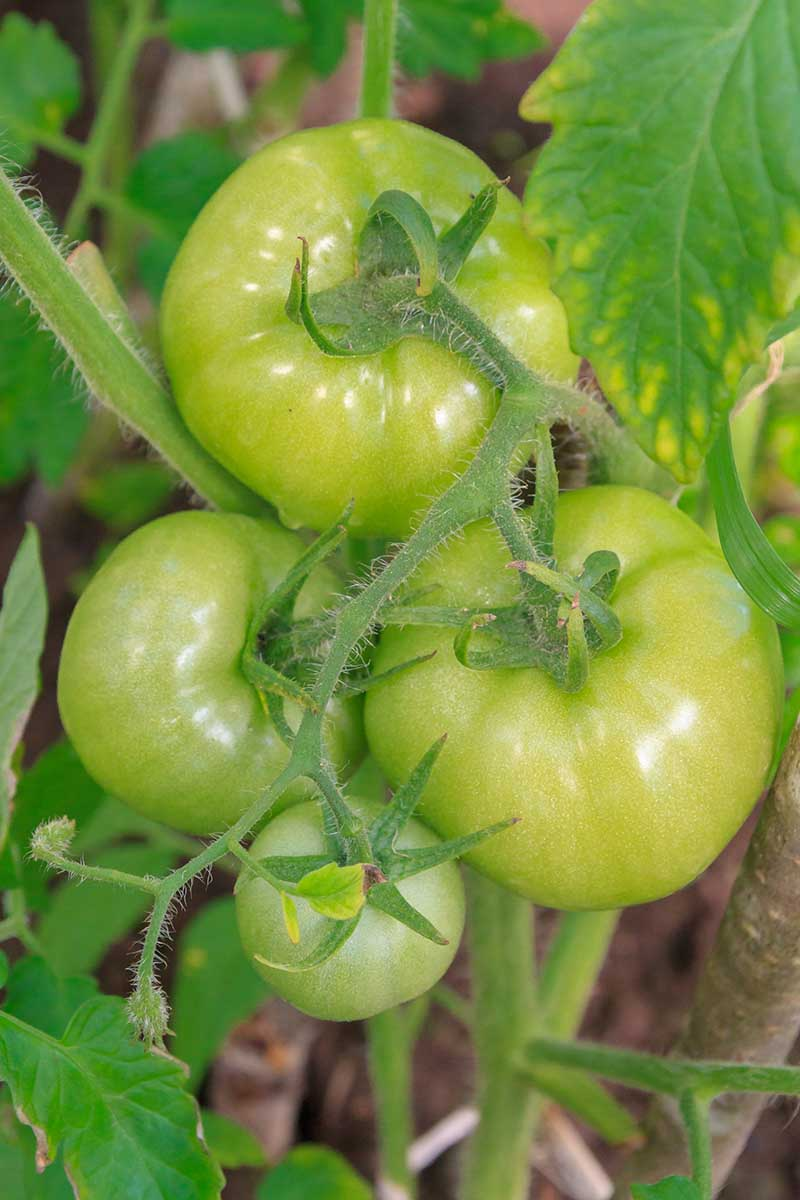 A vertical close up picture of green tomatoes growing on the vine, surrounded by foliage on a soft focus background.