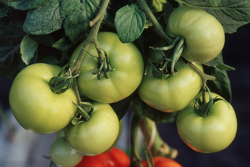 A close up of a cluster of green tomatoes hanging from the vine, surrounded by foliage, on a soft focus background.