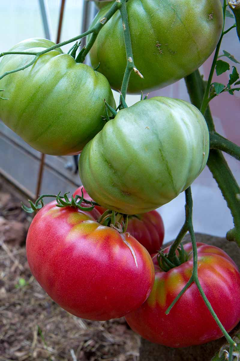A vertical close up picture of large red and green tomatoes hanging from the vine in a greenhouse, on a soft focus background.