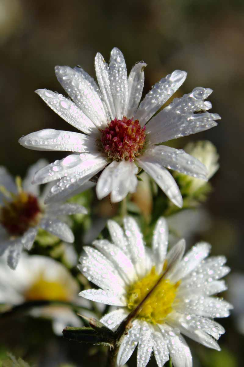 A vertical close up picture of Symphyotrichum lateriflorum flowers, with water droplets on the petals, pictured on a soft focus background.