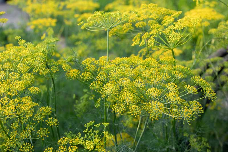 A close up of a herb garden growing dill weed plants (Anethum graveolens), with bright yellow umbels, pictured in bright sunshine.