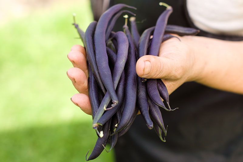 A close up of a hand from the right of the frame holding a handful of purple bush beans in the bright sunshine on a soft focus background.
