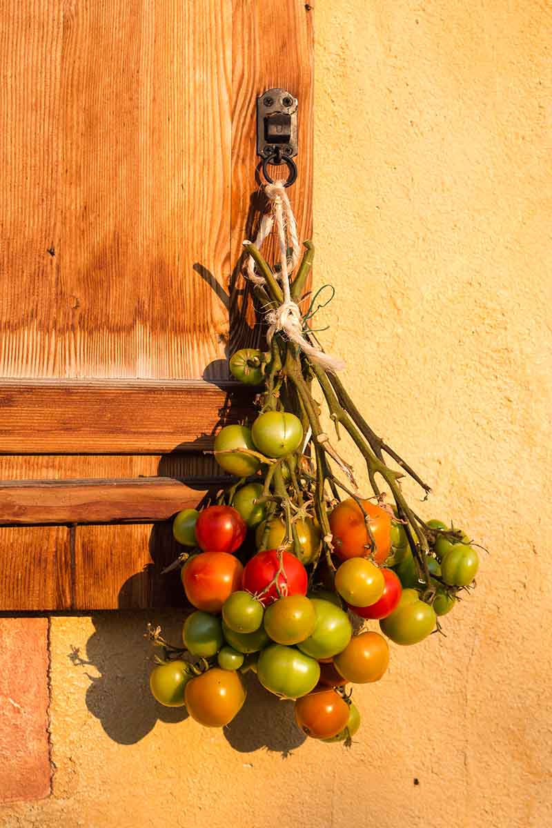 A close up of a bunch of unripe tomatoes tied by the stems and hung upside down to help them ripen, in the background is a yellow wall and a wooden window shutter.