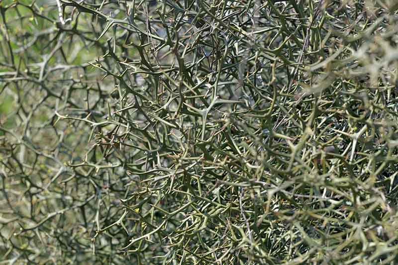A close up of the twisted thorns of the hardy orange shrub.