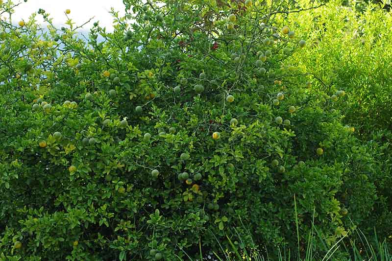 A close up of a hardy orange shrub growing in the landscape.
