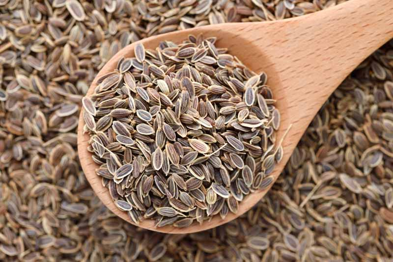 A close up top down pictured of harvested and dried dill (Anethum graveolens) seeds in a wooden spoon.
