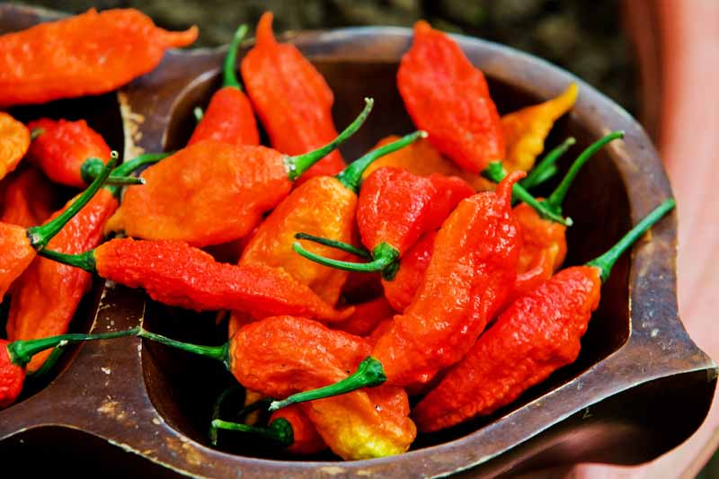 A close up of freshly harvested ghost peppers. Bright red, with slightly wrinkled skin, and placed in a wooden bowl, on a soft focus background.