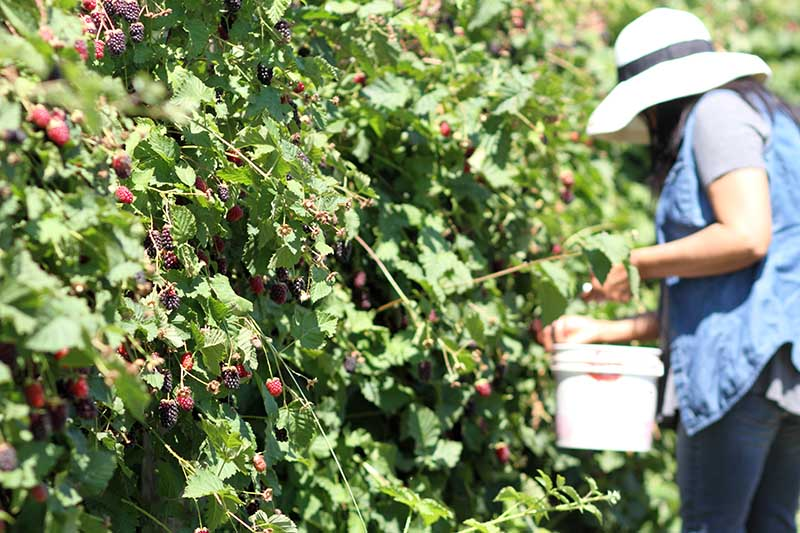 A gardener on the right of the frame holding a white bucket, harvesting berries from the thorny shrubs in bright sunshine.
