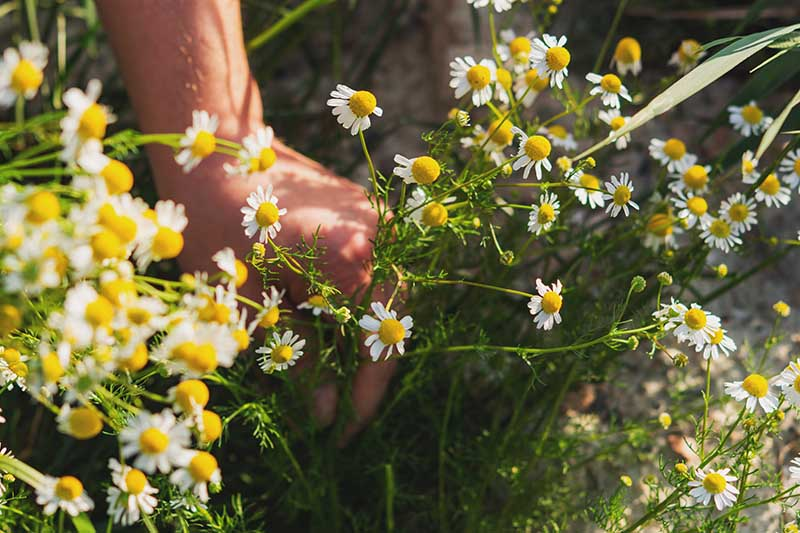 A hand from the left of the frame is harvesting stems of chamomile in the bright sunshine, on a soft focus background.