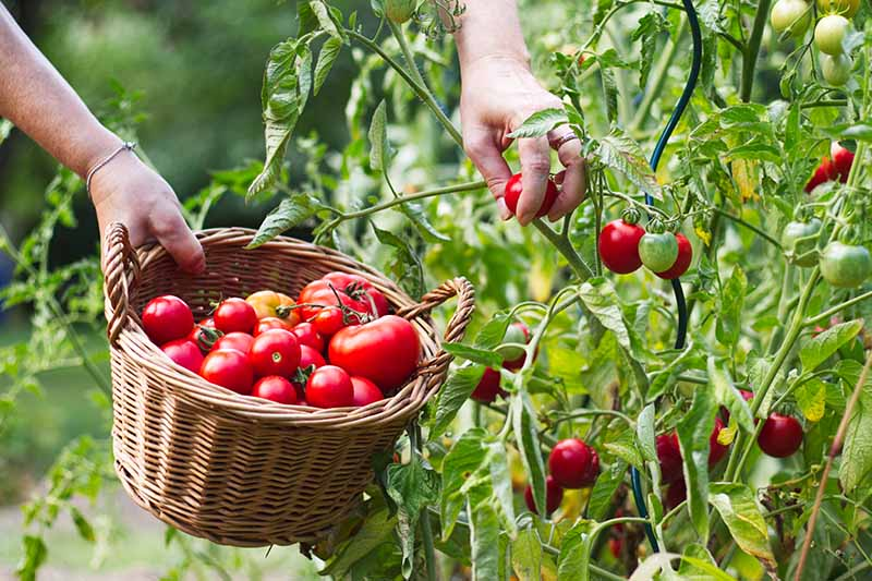 A close up of a hand harvesting fresh red tomatoes from the plant, placing them in a wicker basket.