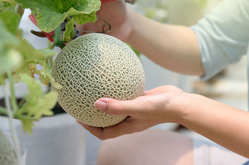 "A close up of two hands from the right of the frame grasping a small melon with ""netted"" rind, just prior to harvest, pictured on a soft focus background."