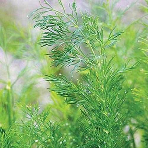 A close up of the feathery foliage of the Anethum graveolens cultivar called 'Hera' on a soft focus background.