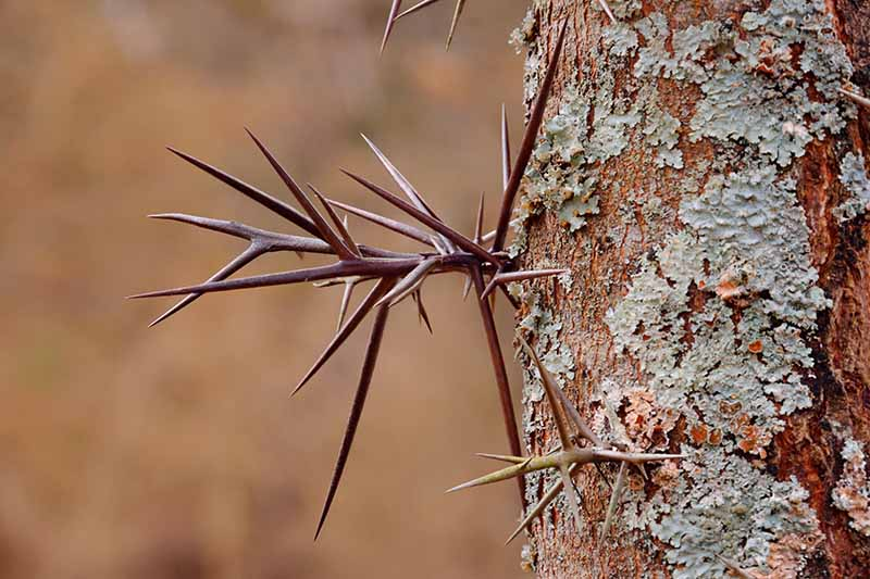 A close up of the trunk of a honey locust tree showing the vicious thorns sticking out from it.