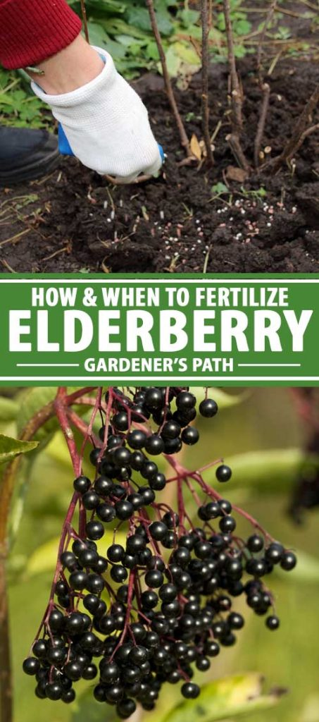 A collage of photos showing elderberry shrubs being fertilized with pellets.