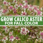 A vertical close up picture of the delicate white and pink flowers of the calico aster, a native perennial wildflower, pictured on a soft focus background. To the center and bottom of the frame is green and white text.