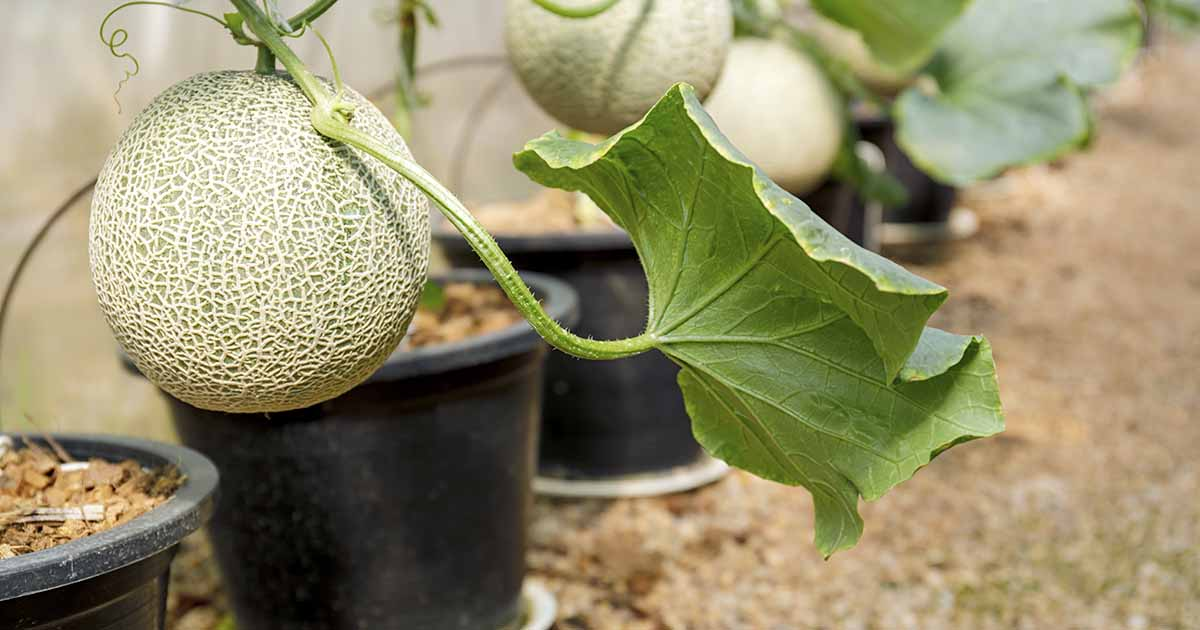How To Grow Cantaloupe In Containers Gardener S Path Cantaloupe generally refers to any melon with the familiar orange, juicy flesh. how to grow cantaloupe in containers