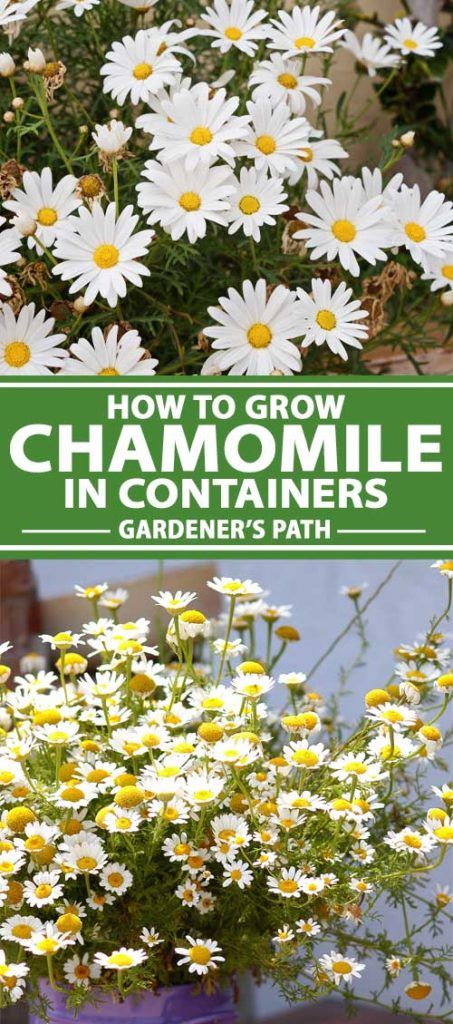 A collage of photos showing chamomile growing in pots and containers.