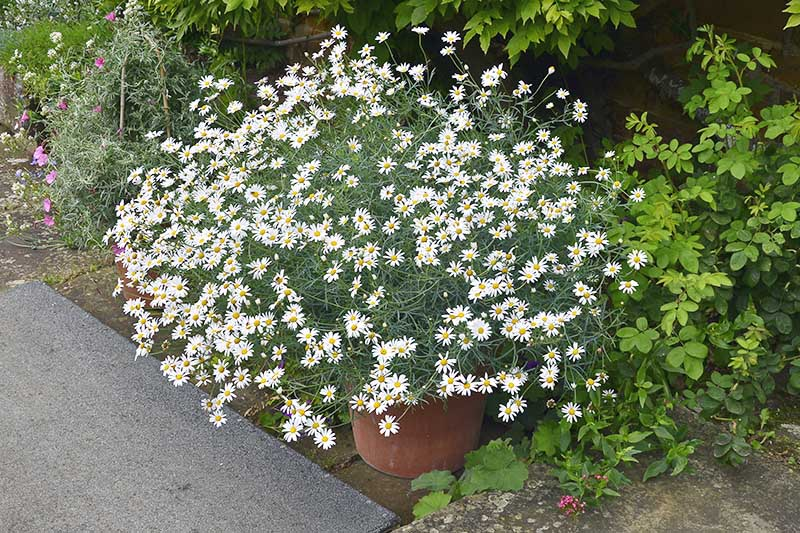 A close up of a Matricaria recutita plant growing in a container at the side of a pathway in the garden, surrounded by other perennials.