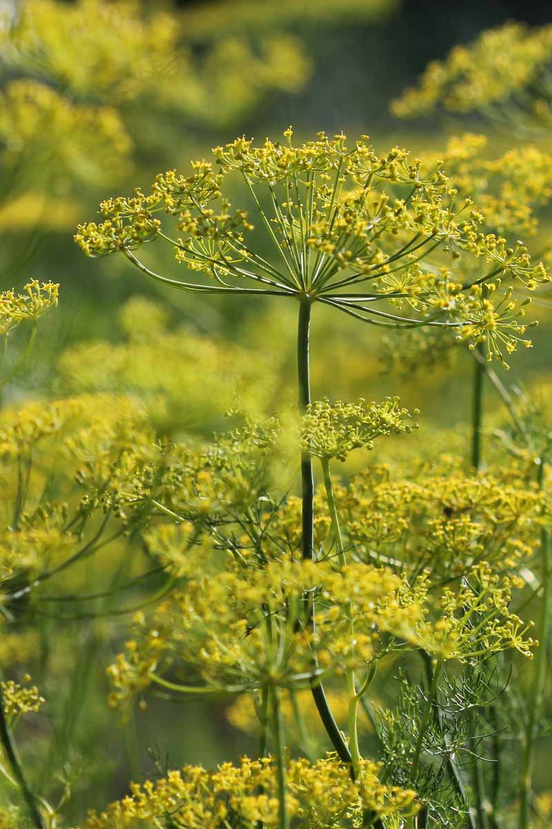 A vertical close up picture of the delicate yellow flower heads of the dill weed plant (Anethum graveolens) growing in the garden in light sunshine.