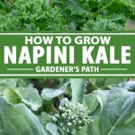 A collage of photos showing napini kale rabe growing in a vegetable garden.