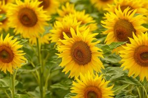 How to Grow Sunflowers: a Beautiful and Tasty Addition to Your Landscape