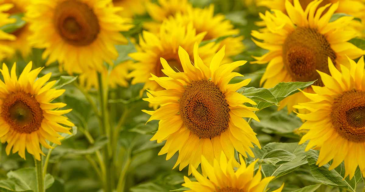 How To Plant And Grow Sensational Sunflowers Gardener S Path