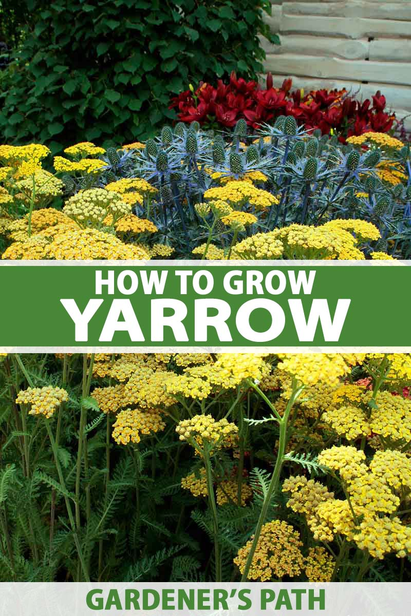 A vertical picture of yellow flowering yarrow growing in the garden with a fence and other flowers in the background. To the center and bottom of the frame is green and white text.