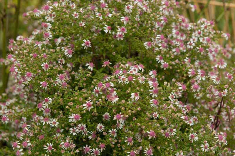 A close up of the delicate white flowers with rose pink centers of the calico aster flower, a native perennial plant that provides delightful fall color.