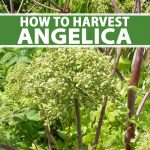 A close up vertical picture of a large angelica plant growing in the summer garden with purple stalks and green umbels. To the center and bottom of the frame is green and white text.