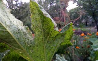 A close up of a large green leaf infested with small black insects, with a garden scene in soft focus in the background.