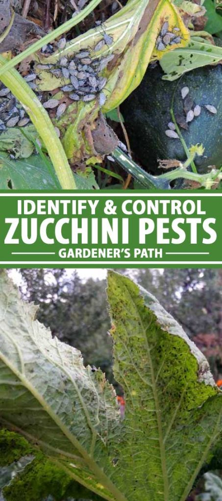 A collage of photos showing the effects of pest infestation on zucchini plant leaves.