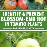 A collage of photos showing different views of blossom-end rot on tomatoes.