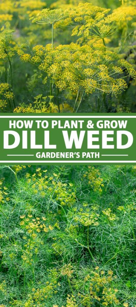 A collage of photos showing dill weed growing in a kitchen herb garden.