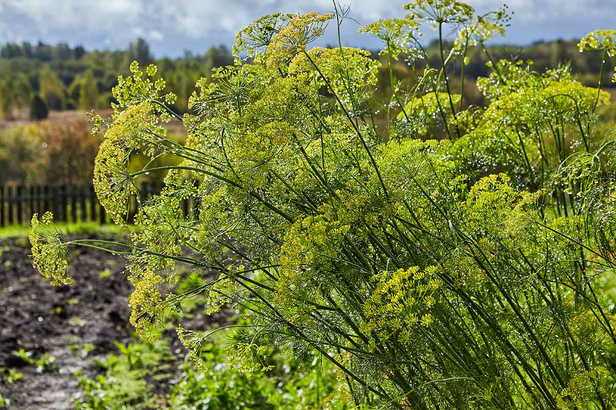 A garden scene with large, mature dill weed plants (Anethum graveolens) growing in bright sunshine with trees in soft focus in the background.