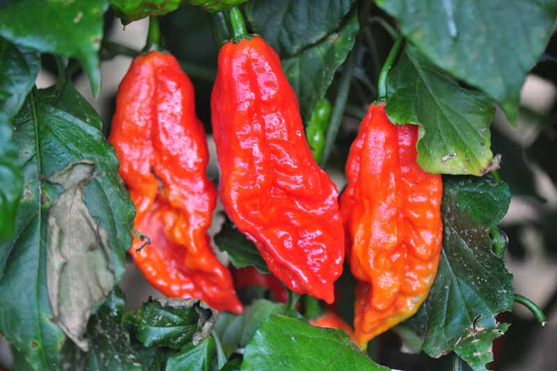 A close up of ripe ghost peppers, ready for harvest, growing on the plant, surrounded by foliage and fading to soft focus in the background.