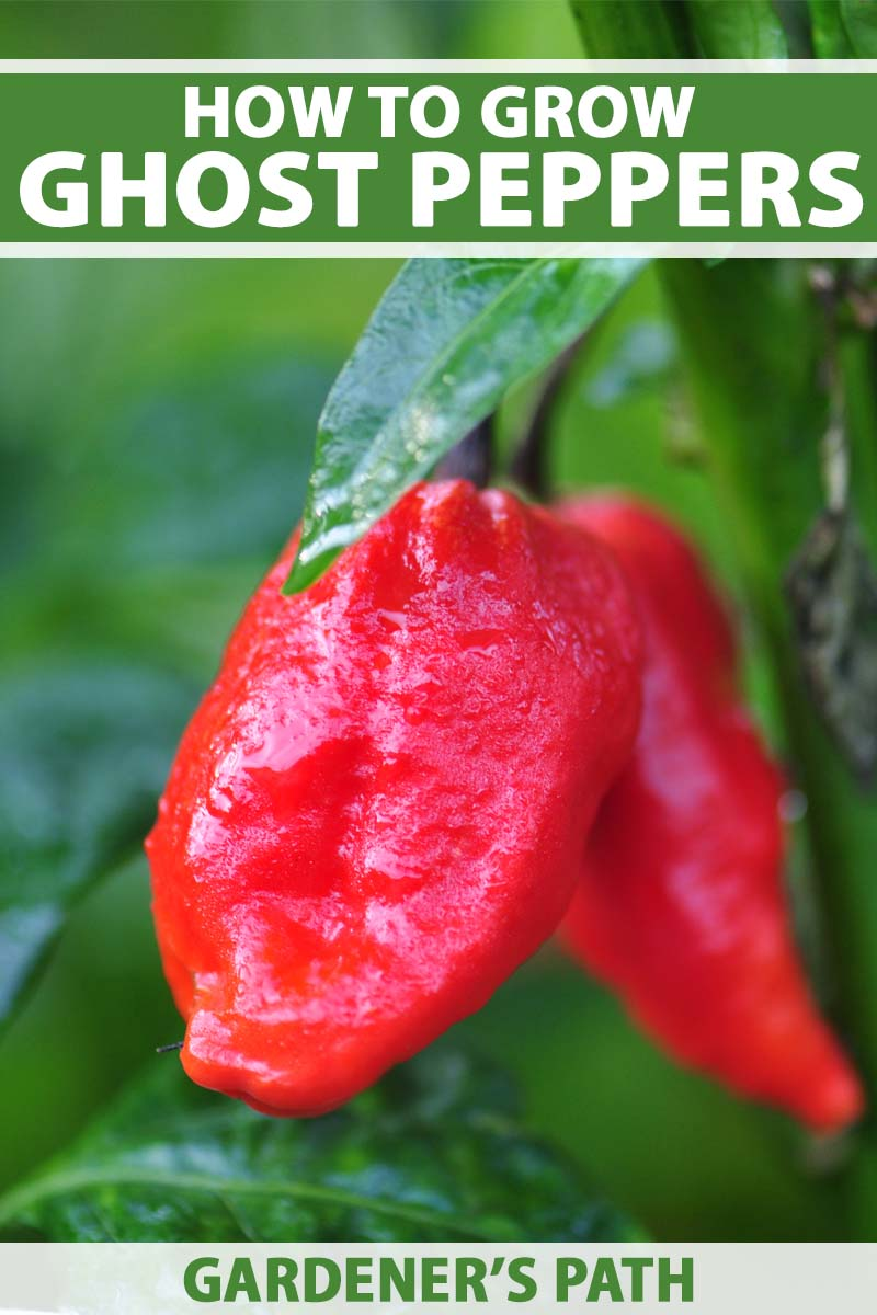 A close up vertical picture of a red ripe ghost pepper ready for harvest, on a green soft focus background. To the top and bottom of the frame is green and white text.