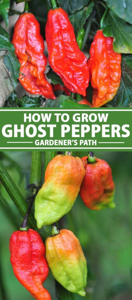 A vertical collage of two images of ghost peppers, growing in the garden. To the center of the frame is green and white text.
