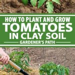 A collage of photos showing tomato plants growing in clay soil.