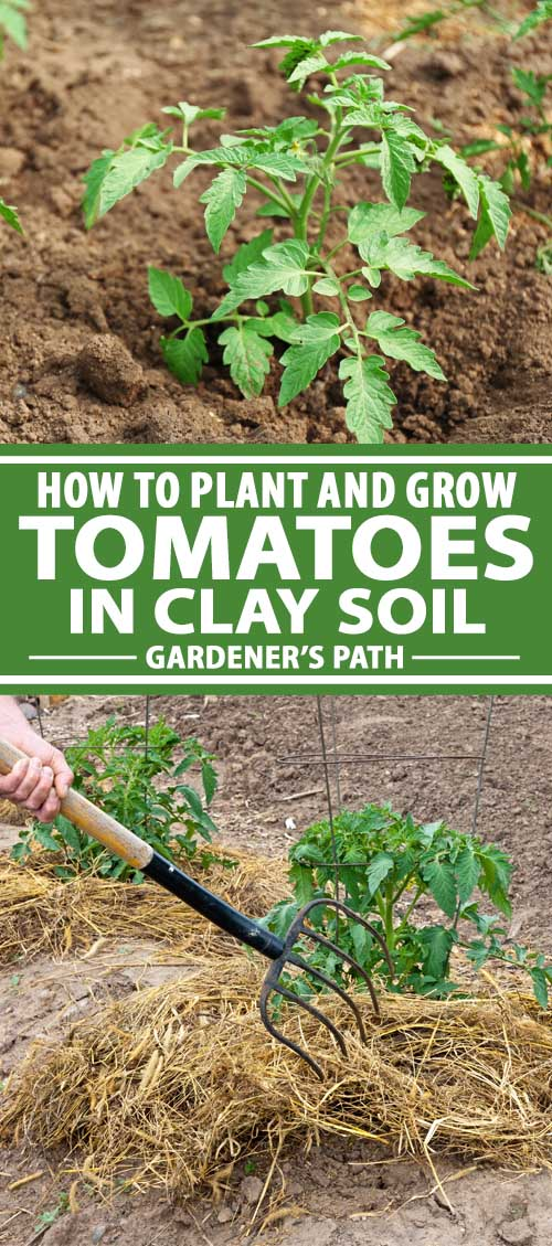 How To Plant And Grow Tomatoes In Clay Soil Gardener S Path