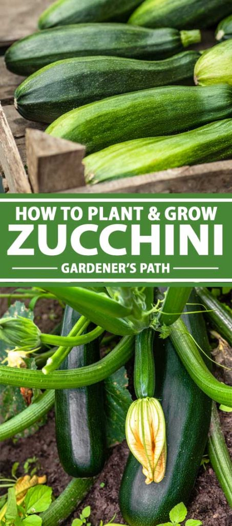 A collage of photos showing zucchini growing in a vegetable garden.