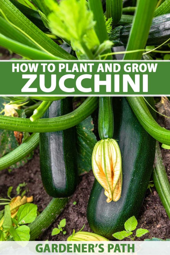 A close up vertical picture of ripe zucchini squash growing in the garden, with soil in soft focus in the background. To the center and bottom of the frame is green and white text.