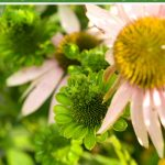 Close up of echinacea flowers with flowers damaged due to aster yellows disease.