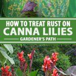 Un collage de photos montrant de la rouille sur les feuilles de lis de canna.