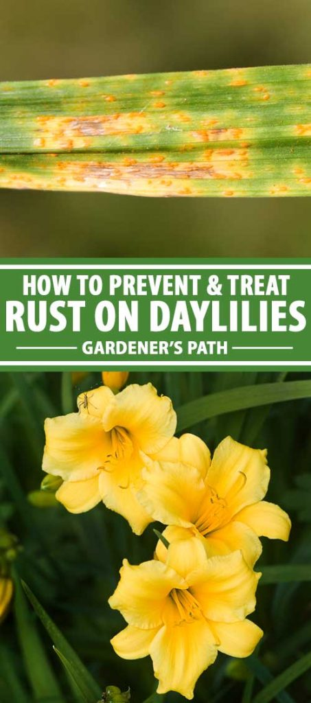 A collage of photos showing rust on daylilies.